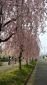 20140429喜多方市の枝垂れ桜18