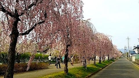 20140429喜多方市の枝垂れ桜19
