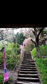 20140429杉の糸桜1