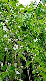 20140429杉の糸桜2