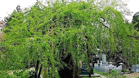 20140429杉の糸桜3