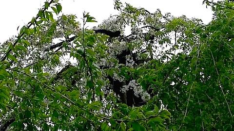 20140429杉の糸桜4