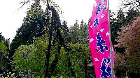 20140429杉の糸桜5