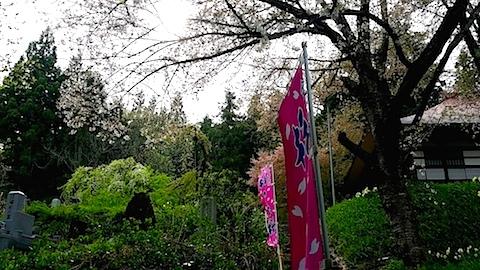 20140429杉の糸桜6