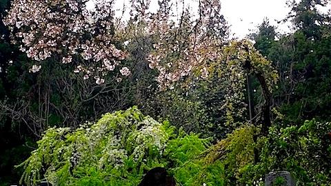 20140429杉の糸桜7