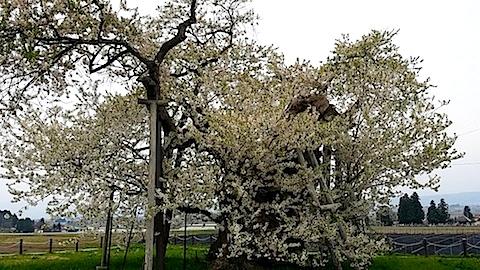 20140429千歳桜3