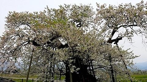20140429千歳桜4