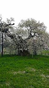 20140429千歳桜2