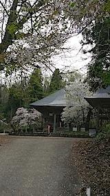 20140429虎の尾桜1