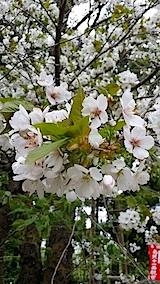 20140429虎の尾桜2