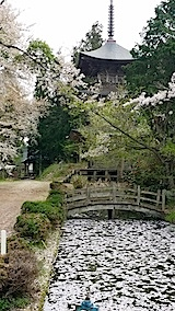 20140429虎の尾桜3