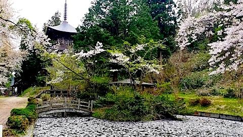 20140429虎の尾桜4