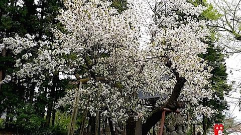 20140429虎の尾桜5