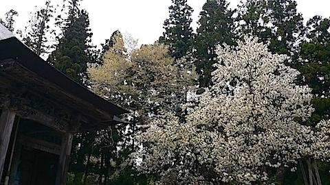 20140429虎の尾桜7