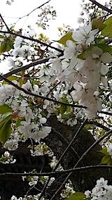 20140429虎の尾桜8