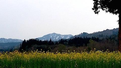 20140429八木沢の菜の花畑6