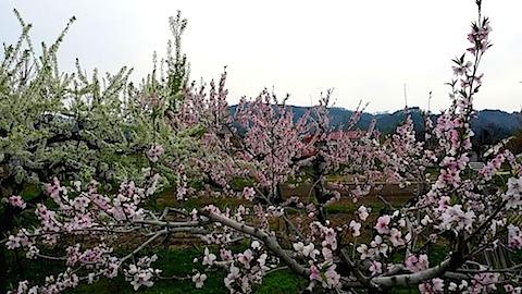 20140429赤留桃の花