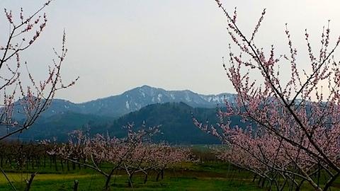 20140429明神ケ岳と桃の花