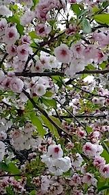 20140429薄墨桜2