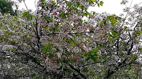 20140429薄墨桜3