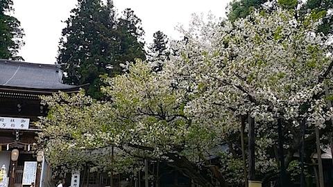 20140429薄墨桜4