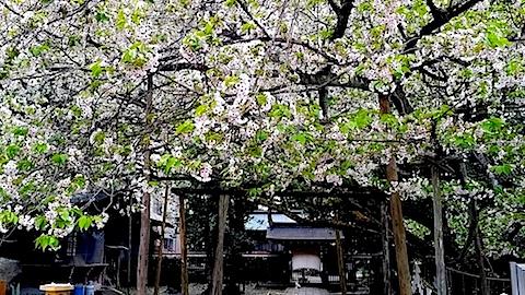 20140429薄墨桜6