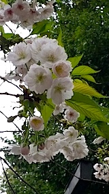 20140429薄墨桜7