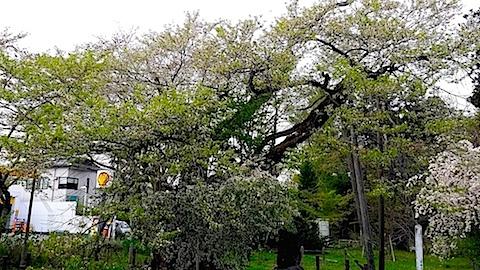 20140429神代桜2