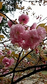 20140429高天ケ原の八重桜
