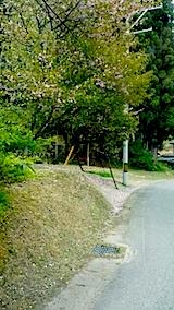 20140513八重桜の花吹雪