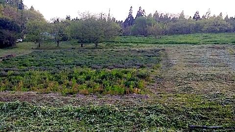 20140514ラベンダーの畑5