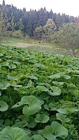 20140514フキの畑