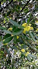 20140516月桂樹の花