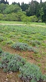 20140518ラベンダーの畑1