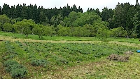 20140518ラベンダーの畑2