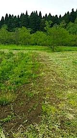 20140518ラベンダー苗の仮植え1
