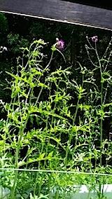 20140608峠道のアザミの花1