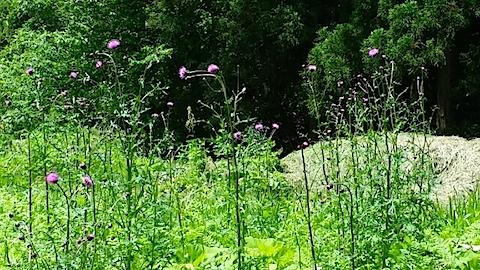 20140608峠道のアザミの花3