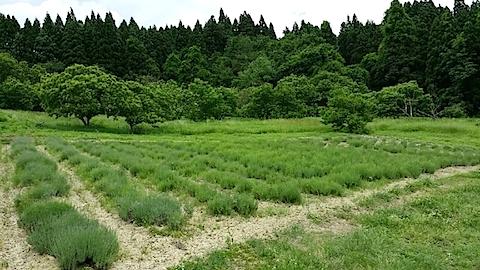 20140608ラベンダーの畑1