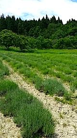 20140608ラベンダーの畑2