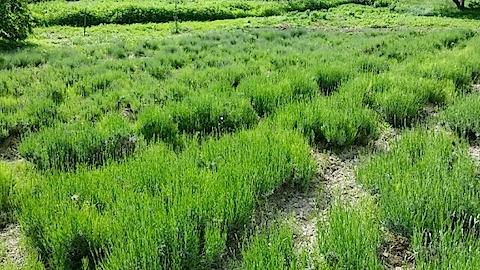 20140609草取りの済んでいないラベンダーの畑