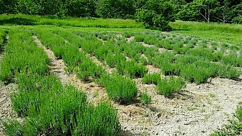 20140608草取りの済んだラベンダーの畑