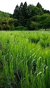 20140608ラベンダーの畑4