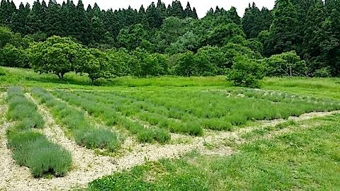 20140609ラベンダーの畑