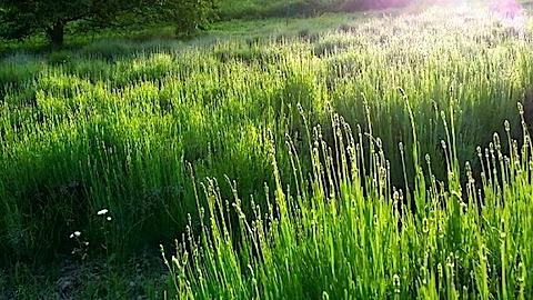 20140609うっすらと紫色に染まるラベンダー畑1