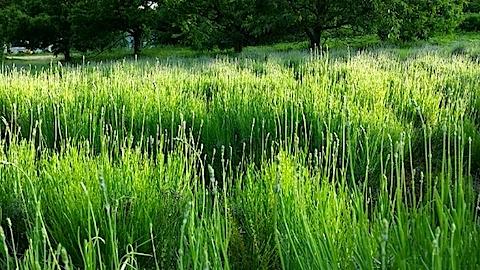 20140609うっすらと紫色に染まるラベンダー畑3