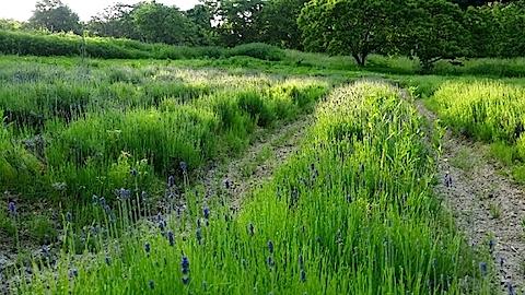 20140609うっすらと紫色に染まるラベンダー畑5
