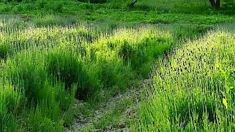 20140609うっすらと紫色に染まるラベンダー畑6
