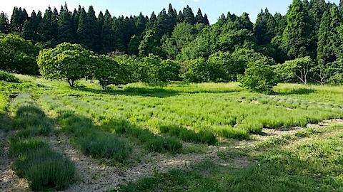 20140610今日のラベンダー畑1