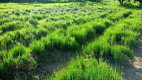 20140610今日のラベンダー畑2